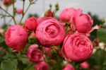 thumb_GLOBE-PLANTER-Rosier-Pompon