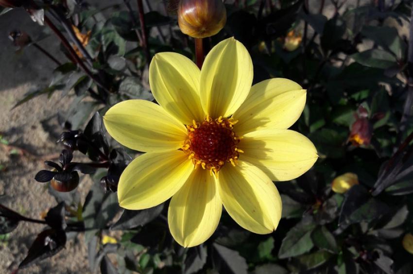 Nova-Flore propose 750 références bulbes à fleurs dès le printemps 2018 pour développer sa stratégie en faveur de la biodiversité sur le marché professionnel