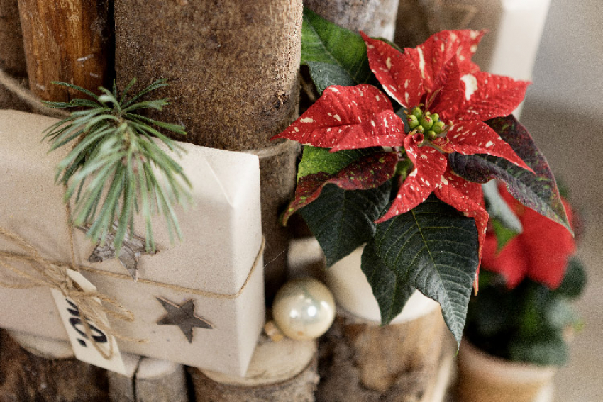 BUREAU HORTICOLE REGIONAL : Pourquoi offrir un Poinsettia Stars for Europe à vos proches au mois de décembre ?